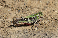 Yellow winged locust